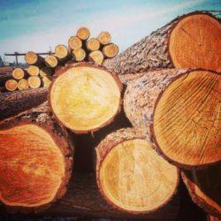 Сосна — отличный строительный материал. 5 фактов